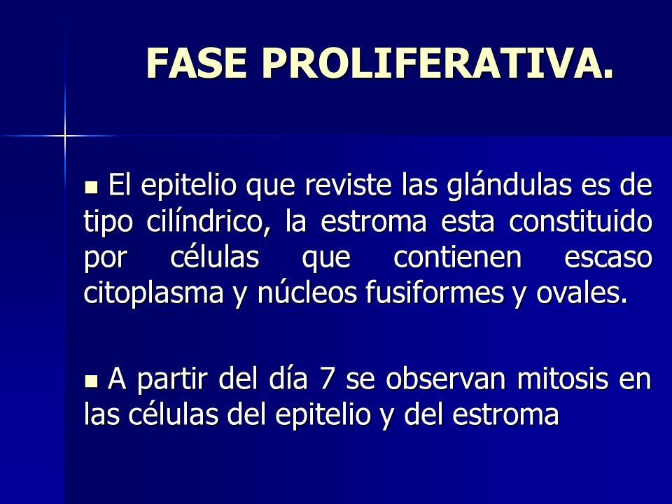 FASE PROLIFERATIVA. FASE PROLIFERATIVA. El epitelio que reviste las glándulas es de tipo cilíndrico, la estroma esta constituido por células que conti