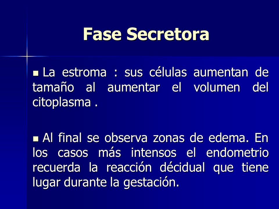 Fase Secretora La estroma : sus células aumentan de tamaño al aumentar el volumen del citoplasma. La estroma : sus células aumentan de tamaño al aumen