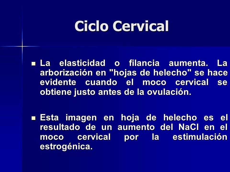 Ciclo Cervical La elasticidad o filancia aumenta.