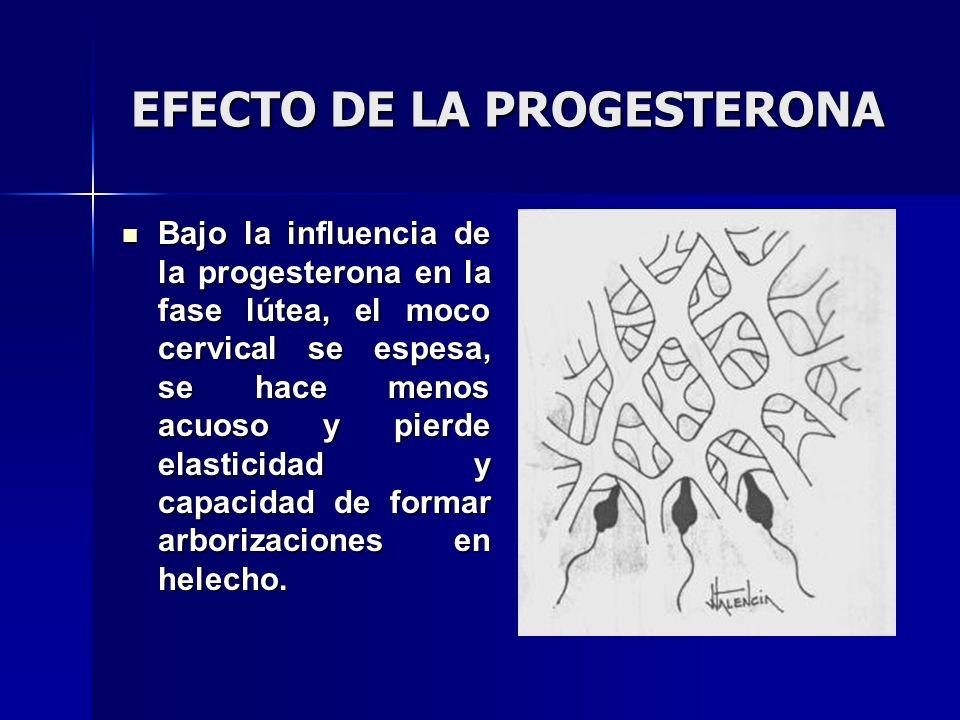 EFECTO DE LA PROGESTERONA Bajo la influencia de la progesterona en la fase lútea, el moco cervical se espesa, se hace menos acuoso y pierde elasticida