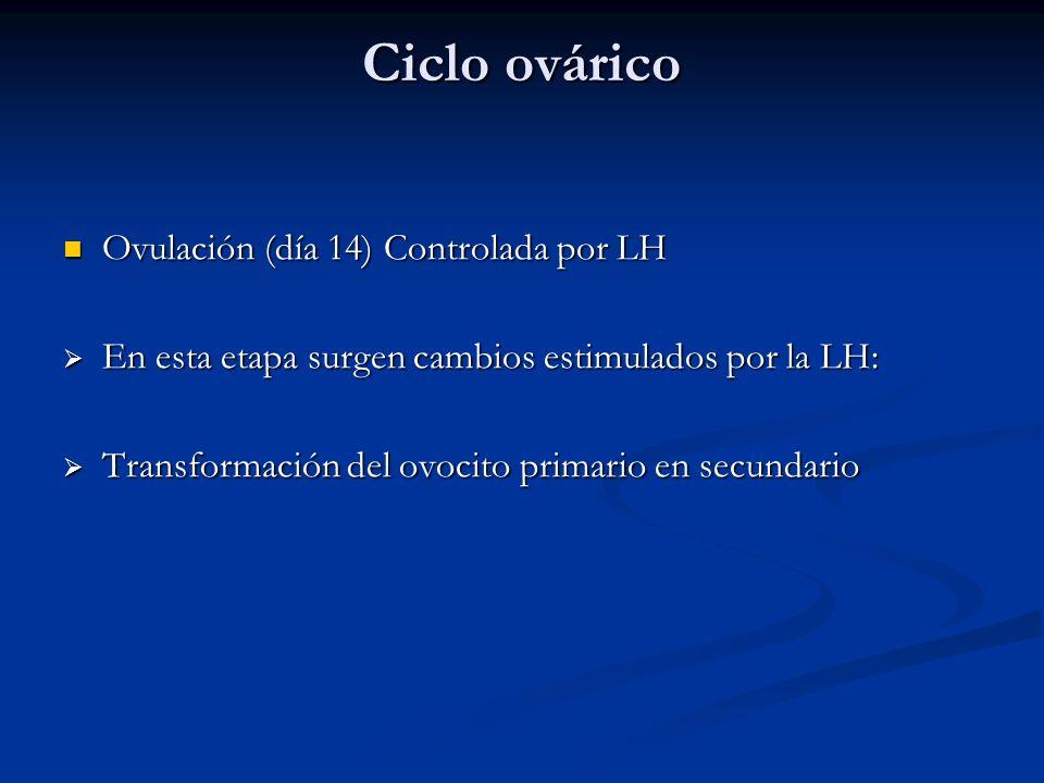 Ciclo ovárico Ovulación (día 14) Controlada por LH Ovulación (día 14) Controlada por LH En esta etapa surgen cambios estimulados por la LH: En esta et