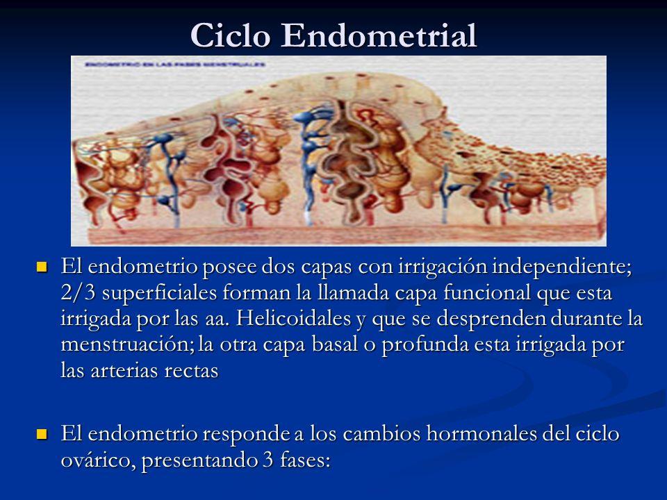Ciclo Endometrial El endometrio posee dos capas con irrigación independiente; 2/3 superficiales forman la llamada capa funcional que esta irrigada por
