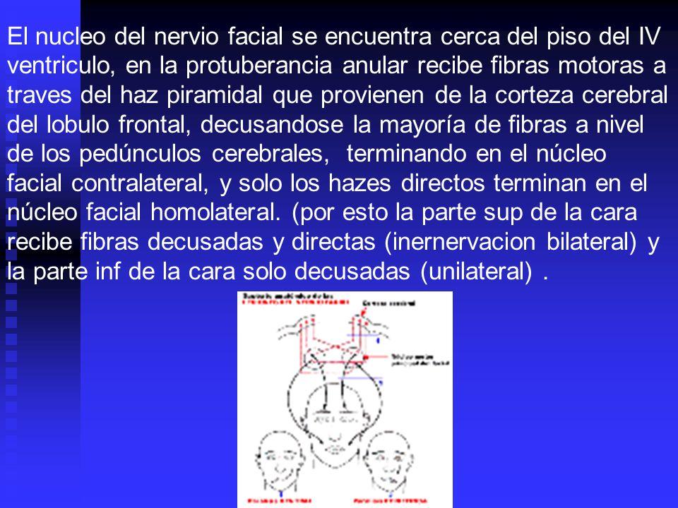 El nucleo del nervio facial se encuentra cerca del piso del IV ventriculo, en la protuberancia anular recibe fibras motoras a traves del haz piramidal