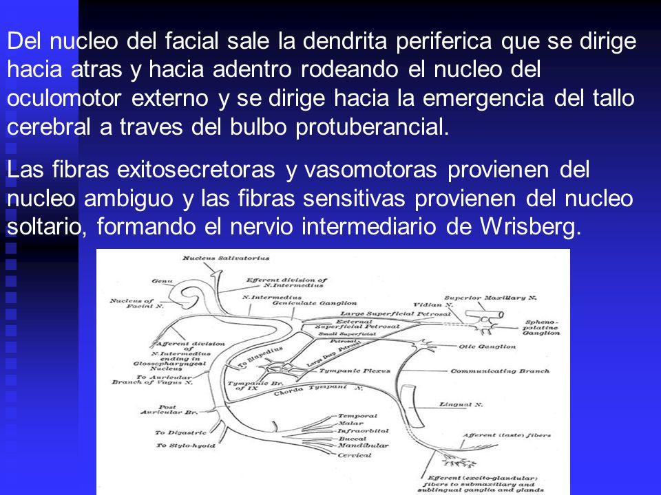 Del nucleo del facial sale la dendrita periferica que se dirige hacia atras y hacia adentro rodeando el nucleo del oculomotor externo y se dirige haci