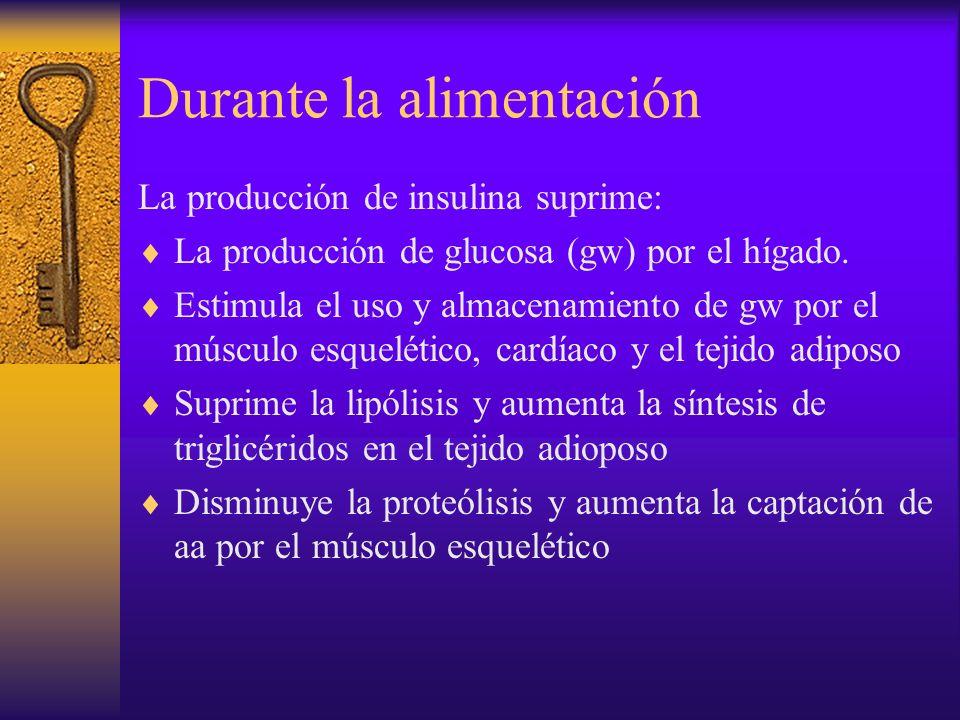 Durante la alimentación La producción de insulina suprime: La producción de glucosa (gw) por el hígado. Estimula el uso y almacenamiento de gw por el