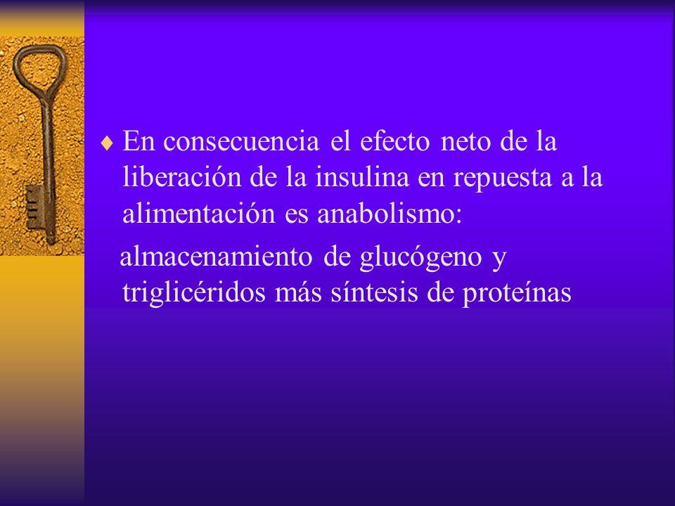 En consecuencia el efecto neto de la liberación de la insulina en repuesta a la alimentación es anabolismo: almacenamiento de glucógeno y triglicérido