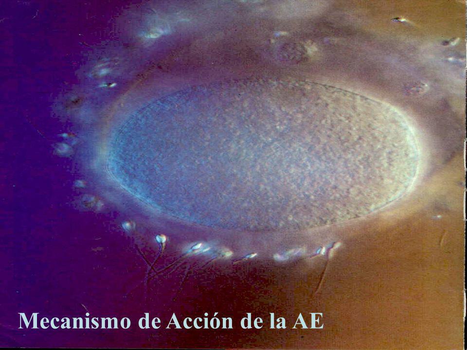 Mecanismo de acción de la AE - Aumento del pH del fluido uterino (inmovilización de espermatozoides) - Aumento de la viscosidad de moco cervical Disminución del # de espermatozoides en cavidad uterina Fuente: WHO - TASK FORCE.