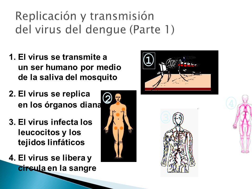 1. El virus se transmite a un ser humano por medio de la saliva del mosquito 2. El virus se replica en los órganos diana 3. El virus infecta los leuco