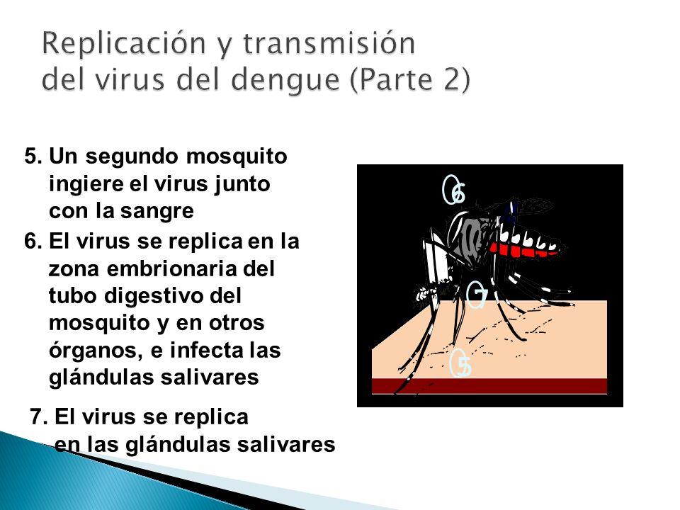 5. Un segundo mosquito ingiere el virus junto con la sangre 6. El virus se replica en la zona embrionaria del tubo digestivo del mosquito y en otros ó