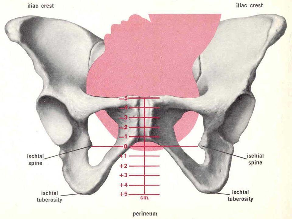 CANAL BLANDO 1.UTERO Cuerpo; Segmento; Cuello 2. VAGINA 3.MÚSCULOS PERINEALES: I.