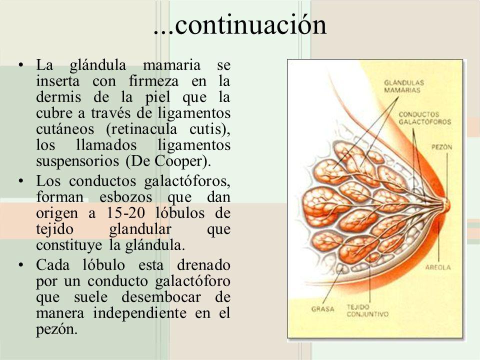 ...continuación La glándula mamaria se inserta con firmeza en la dermis de la piel que la cubre a través de ligamentos cutáneos (retinacula cutis), lo