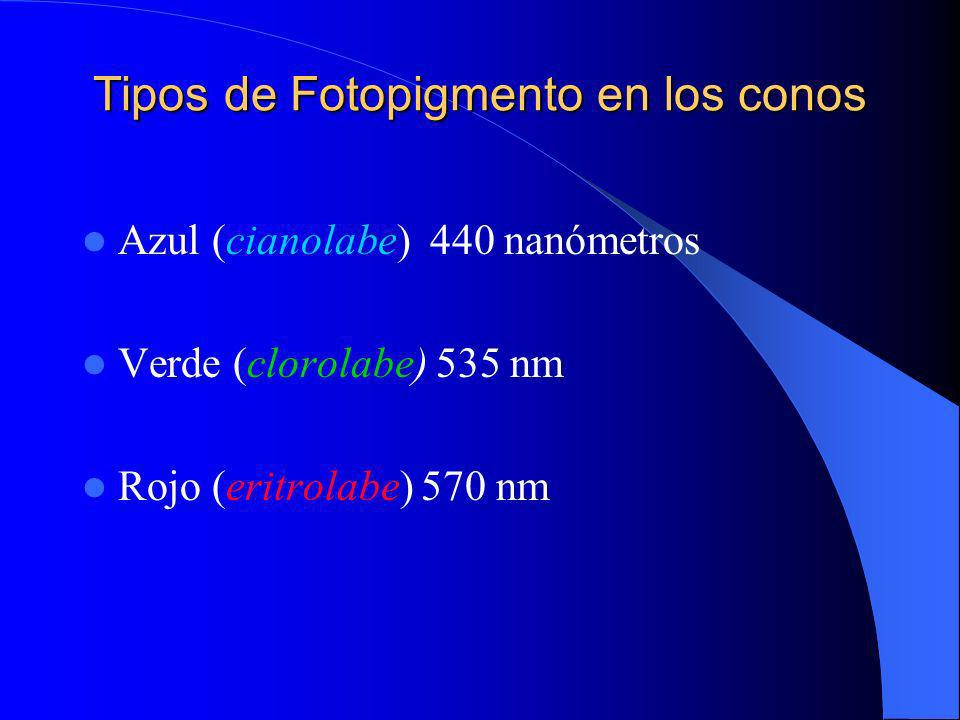 Fotorreceptores La retina sensorial contiene : 6 millones de conos 120 de bastones El N/O contiene 1.200.000 fibras.