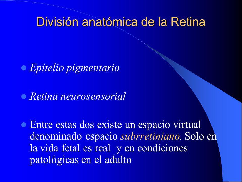 Capas : retina neurosensorial Conos y bastones Limitante externa Nuclear externa Plexiforme externa Nuclear interna Plexiforme interna Celulas ganglionares Fibras nerviosas Limitante interna