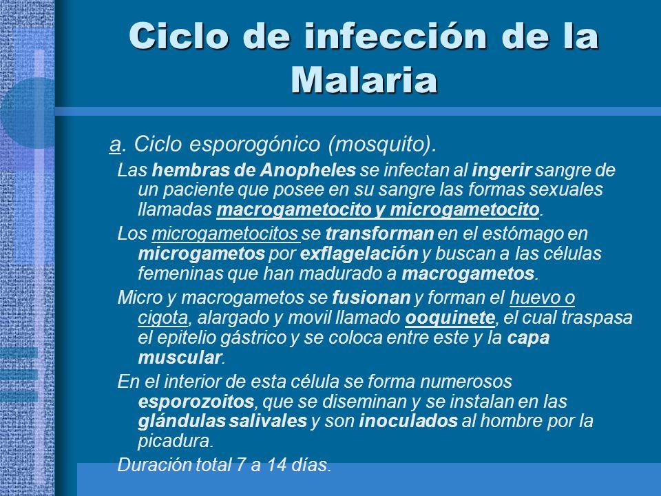 Ciclo de infección de la Malaria a. Ciclo esporogónico (mosquito). Las hembras de Anopheles se infectan al ingerir sangre de un paciente que posee en