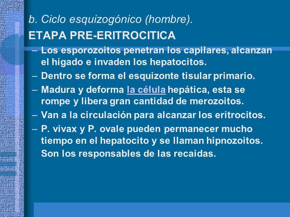b. Ciclo esquizogónico (hombre). ETAPA PRE-ERITROCITICA –Los esporozoitos penetran los capilares, alcanzan el hígado e invaden los hepatocitos. –Dentr