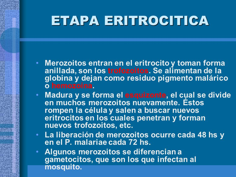 ETAPA ERITROCITICA Merozoitos entran en el eritrocito y toman forma anillada, son los trofozoitos. Se alimentan de la globina y dejan como residuo pig
