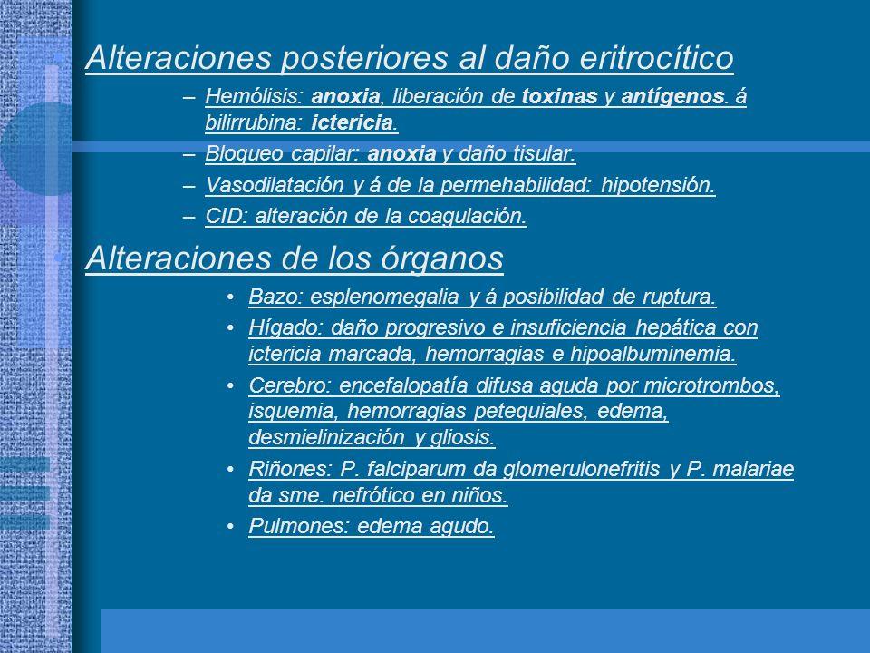 Alteraciones posteriores al daño eritrocítico –Hemólisis: anoxia, liberación de toxinas y antígenos. á bilirrubina: ictericia. –Bloqueo capilar: anoxi