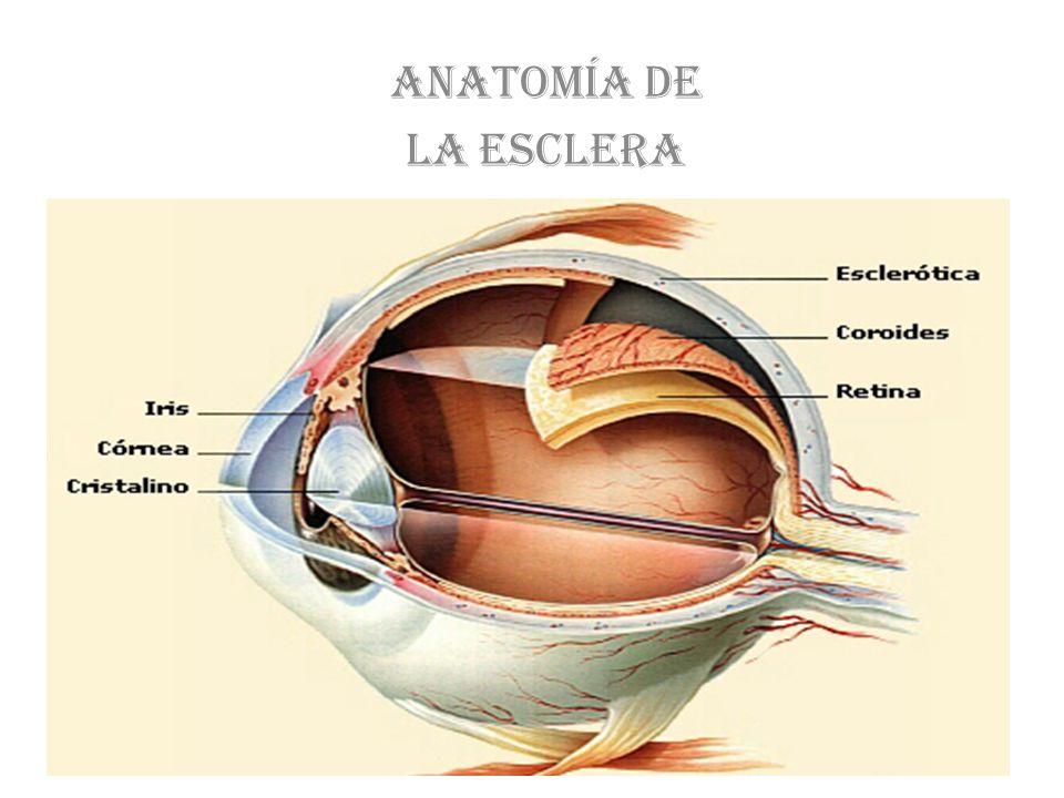 Anatomía de esclera La Esclera es la más superficial de las túnicas oculares.