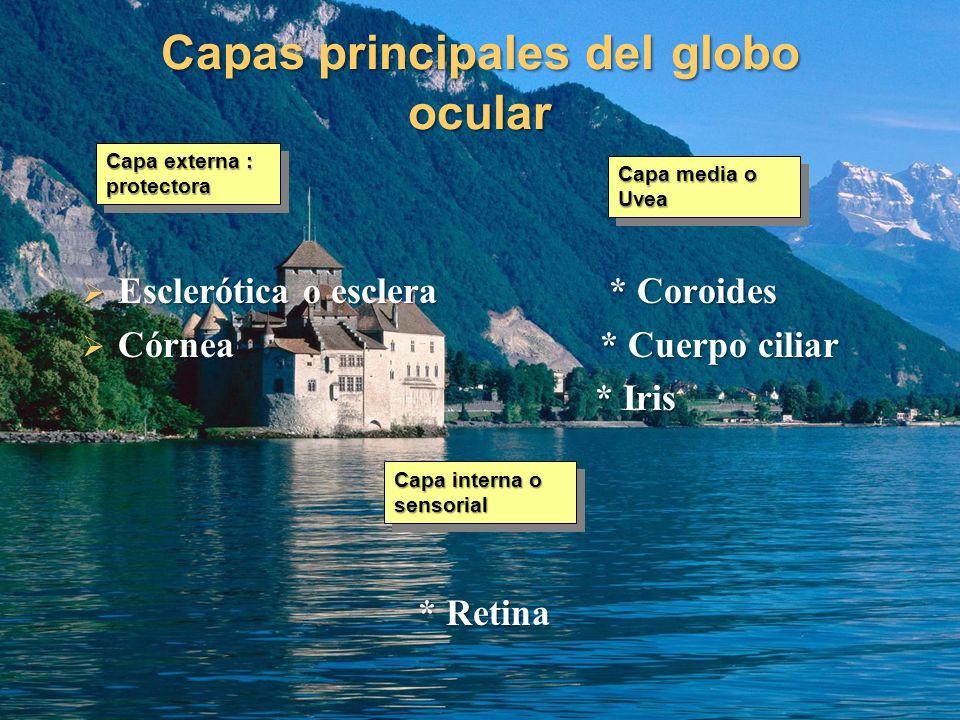 Capas principales del globo ocular Esclerótica o esclera * Coroides Esclerótica o esclera * Coroides Córnea * Cuerpo ciliar Córnea * Cuerpo ciliar * I