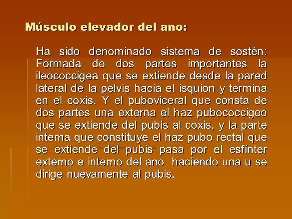 Músculo elevador del ano: Ha sido denominado sistema de sostén: Formada de dos partes importantes la ileococcigea que se extiende desde la pared later