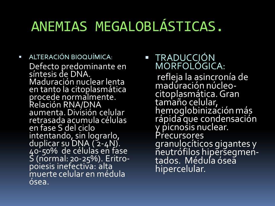 ANEMIAS MEGALOBLÁSTICAS. ALTERACIÓN BIOQUÍMICA: Defecto predominante en síntesis de DNA. Maduración nuclear lenta en tanto la citoplasmática procede n