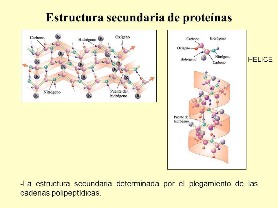 -La estructura secundaria determinada por el plegamiento de las cadenas polipeptídicas.