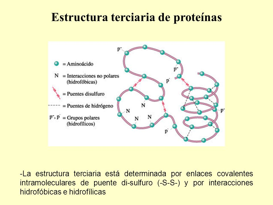 -La estructura terciaria está determinada por enlaces covalentes intramoleculares de puente di-sulfuro (-S-S-) y por interacciones hidrofóbicas e hidrofílicas Estructura terciaria de proteínas