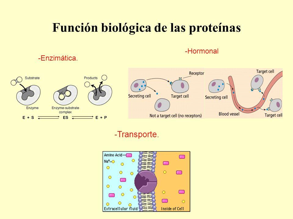 Función biológica de las proteínas -Transporte. -Enzimática. -Hormonal