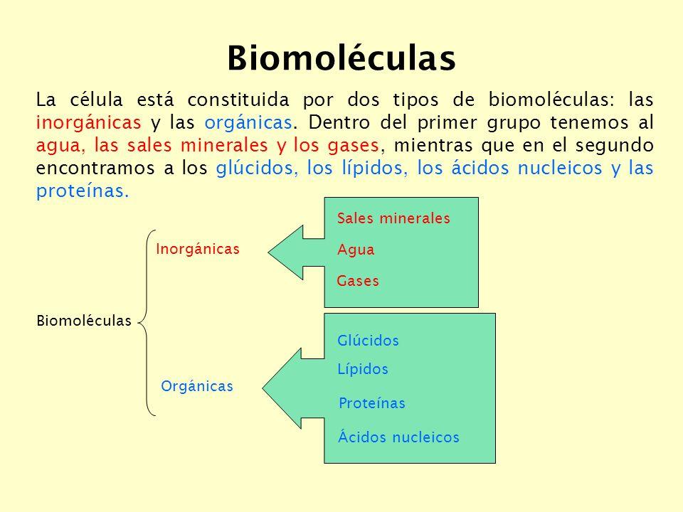 Biomoléculas La célula está constituida por dos tipos de biomoléculas: las inorgánicas y las orgánicas.