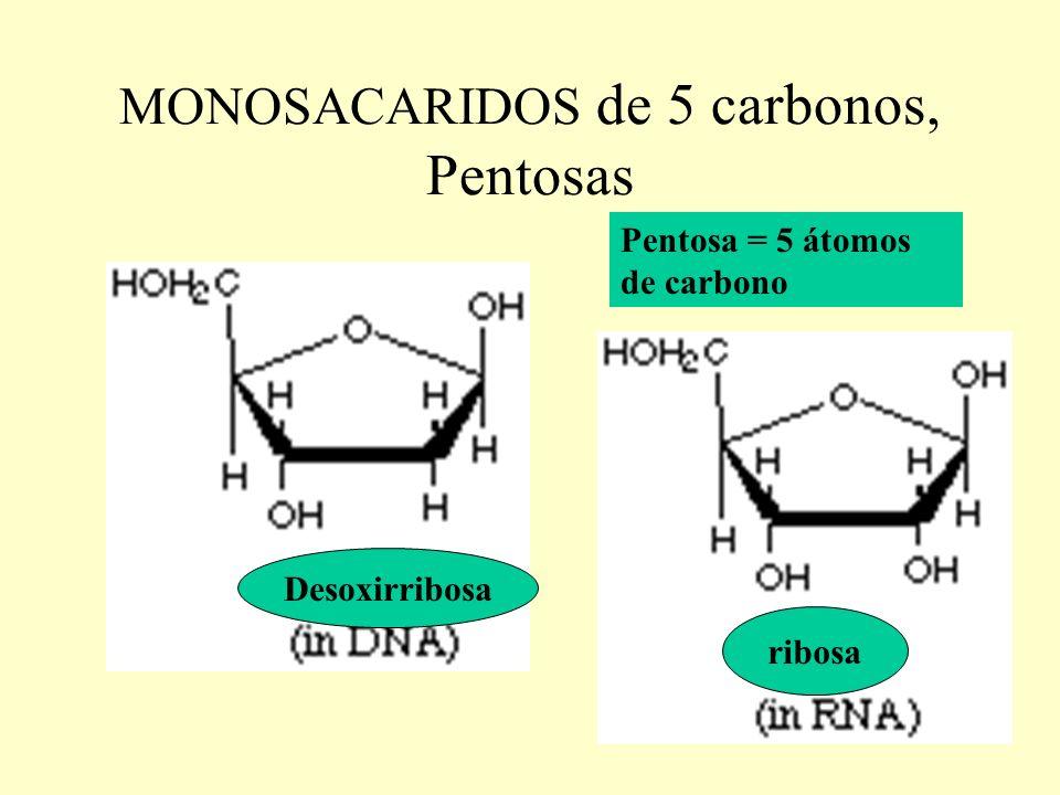 MONOSACARIDOS de 5 carbonos, Pentosas Pentosa = 5 átomos de carbono Desoxirribosa ribosa