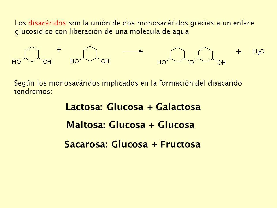 Los disacáridos son la unión de dos monosacáridos gracias a un enlace glucosídico con liberación de una molécula de agua Según los monosacáridos implicados en la formación del disacárido tendremos: Lactosa: Glucosa + Galactosa Maltosa: Glucosa + Glucosa Sacarosa: Glucosa + Fructosa