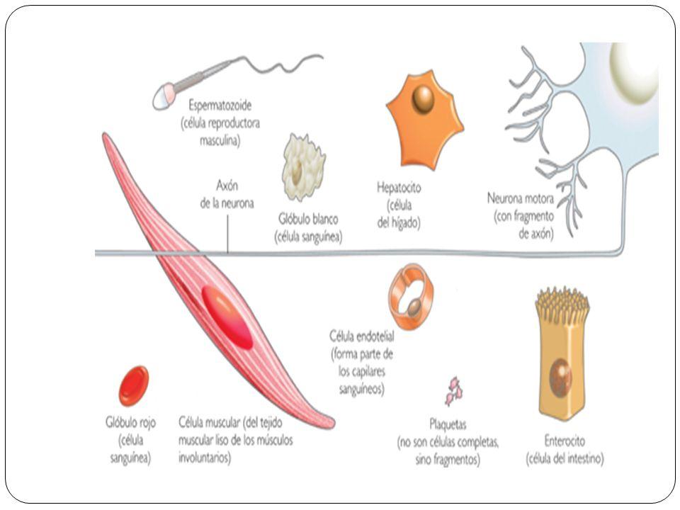 Funciones: Se relaciona con la secreción celular y son sintetizadas en los ribosomas del RER (retículo endoplasmático rugoso) del cual pasa al REL (retículo endoplasmático liso) y de este al aparato de Golgi y es enviado al exterior.