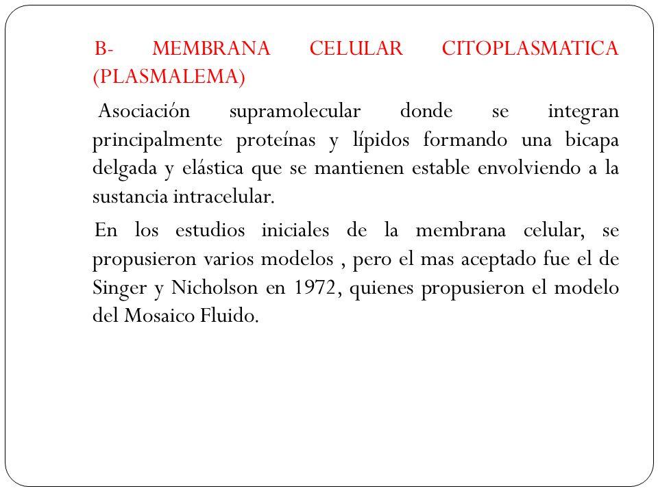 (1) Núcleo.(2) Poro nuclear. (3) Retículo endoplasmático rugoso (REr).