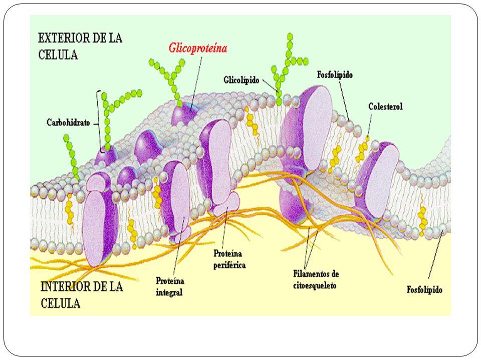 MITOCONDRIA: 1. Membrana interna; 2. Membrana externa; 3. Cresta; 4. Matriz.