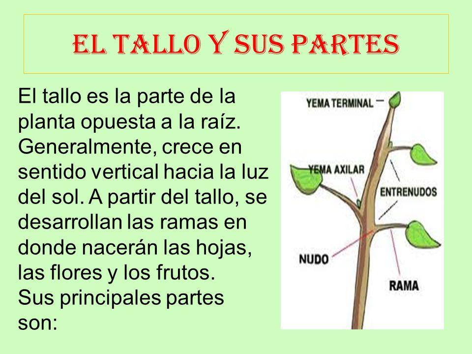 LA RAIZ Y SUS PARTES La raíz es el órgano que se encuentra debajo de la tierra. Su función es sujetar la planta y absorber las sales minerales y el ag