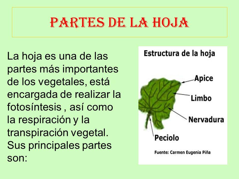 EL TALLO Y SUS PARTES El tallo es la parte de la planta opuesta a la raíz. Generalmente, crece en sentido vertical hacia la luz del sol. A partir del