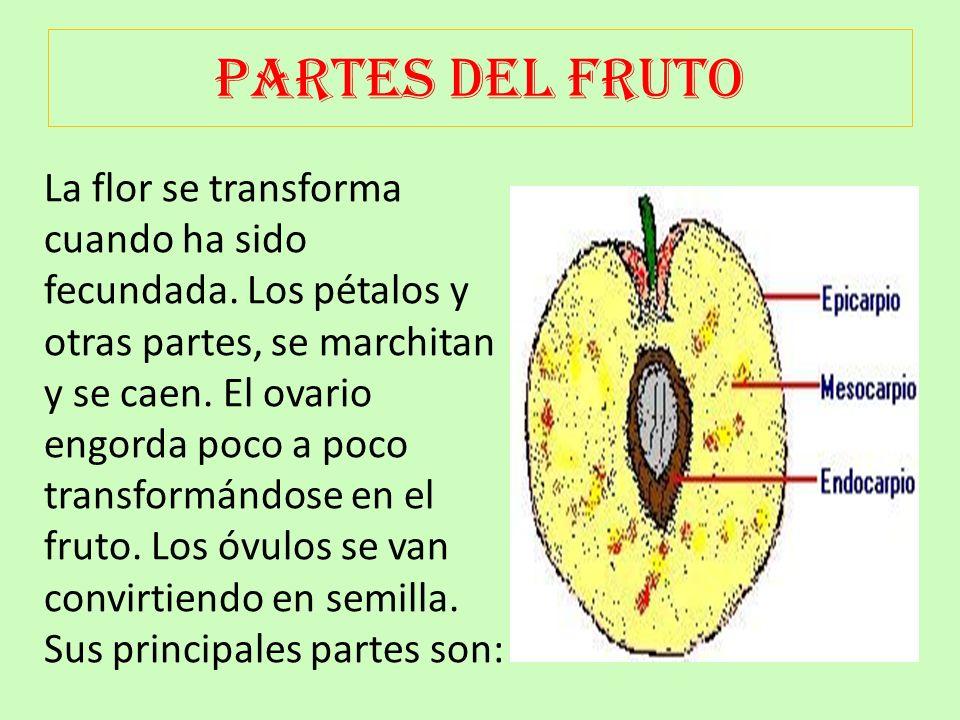 PARTES DE LA FLOR Las flores son el órgano reproductor de las plantas. A partir de ellas, se producen los frutos y las semillas. Las semillas germinan