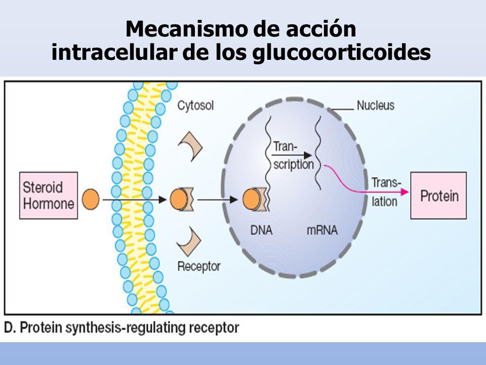 Mecanismo de acción intracelular de los glucocorticoides