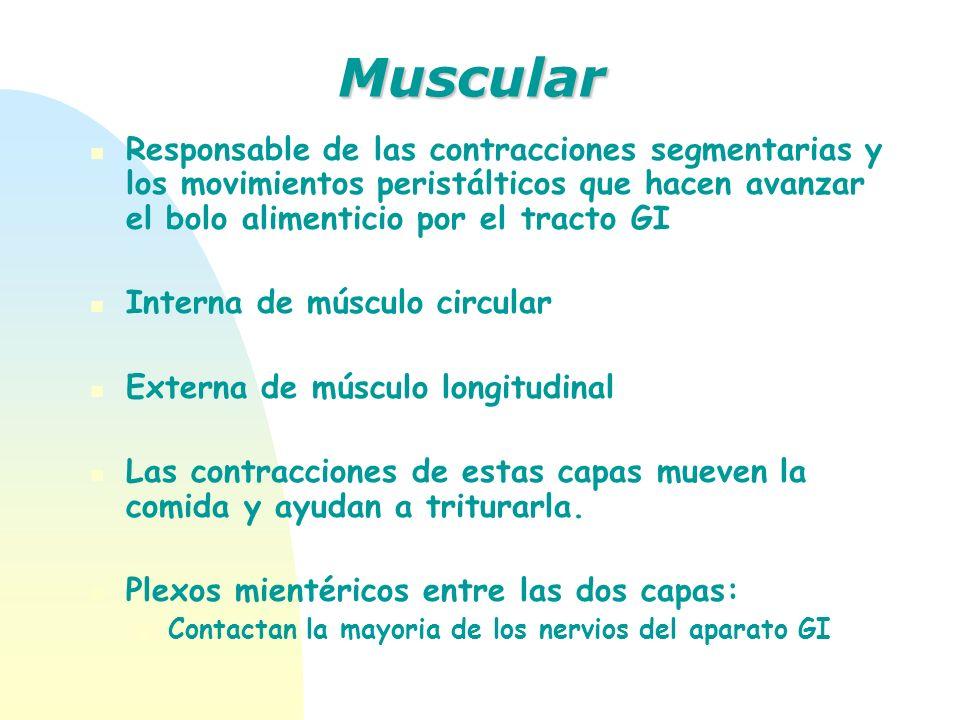 Responsable de las contracciones segmentarias y los movimientos peristálticos que hacen avanzar el bolo alimenticio por el tracto GI Interna de múscul