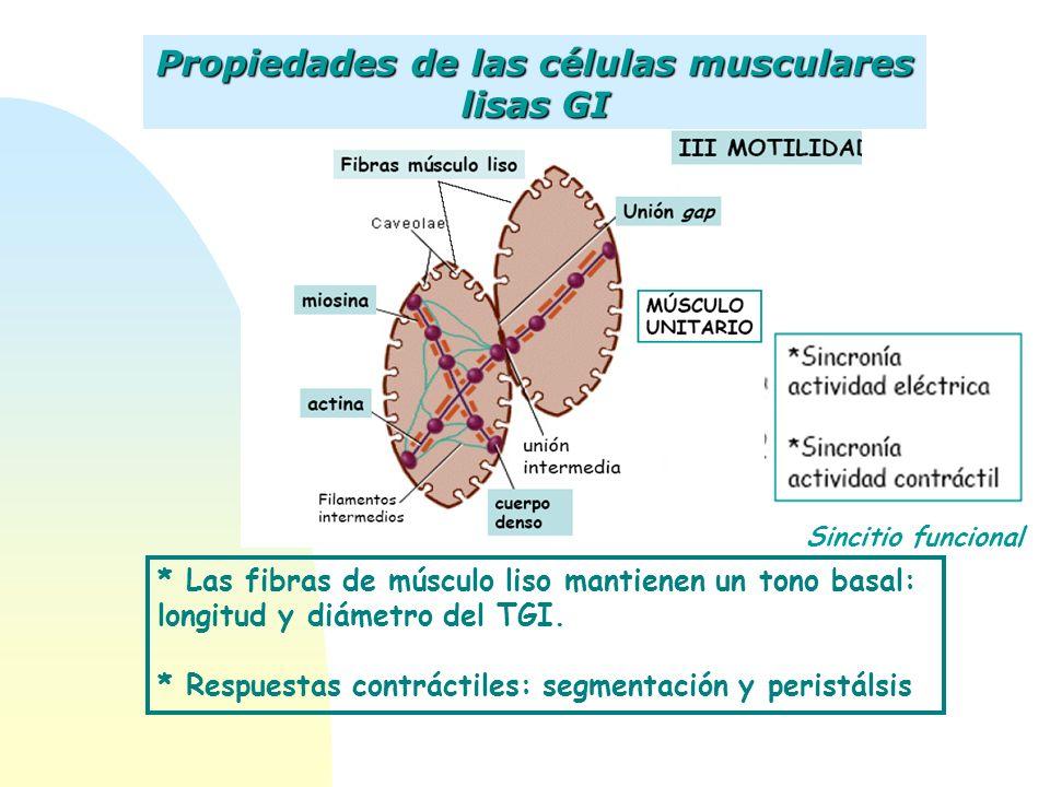 Sincitio funcional Propiedades de las células musculares lisas GI * Las fibras de músculo liso mantienen un tono basal: longitud y diámetro del TGI. *