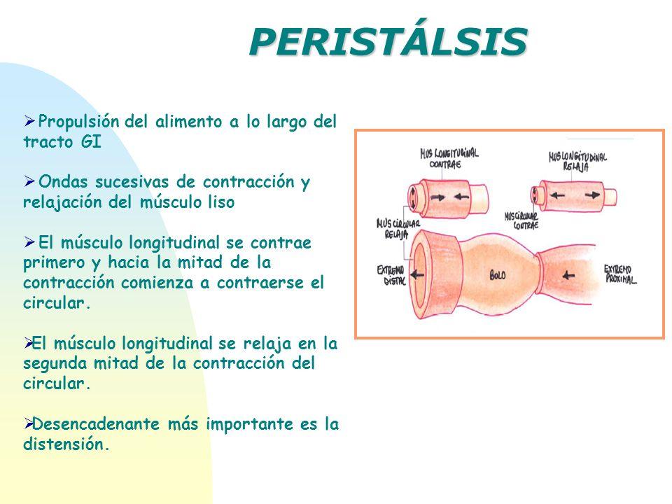 Propulsión del alimento a lo largo del tracto GI Ondas sucesivas de contracción y relajación del músculo liso El músculo longitudinal se contrae prime