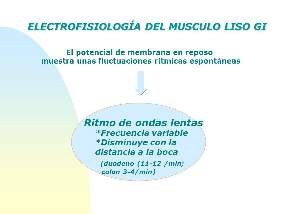 Ritmo de ondas lentas *Frecuencia variable *Disminuye con la distancia a la boca (duodeno (11-12 /min; colon 3-4/min) El potencial de membrana en repo