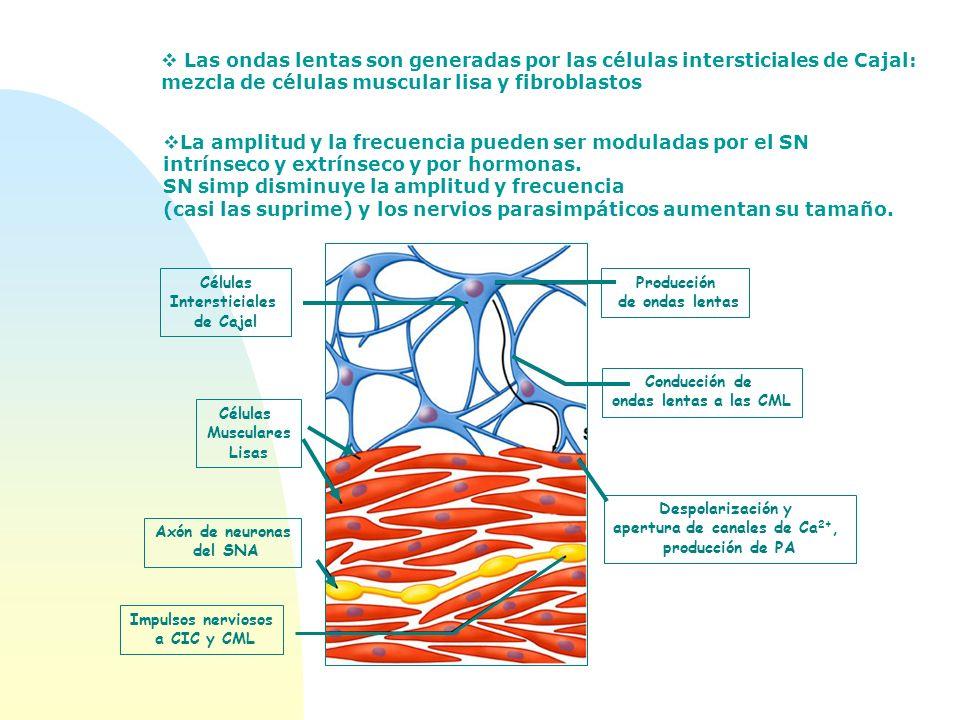 Las ondas lentas son generadas por las células intersticiales de Cajal: mezcla de células muscular lisa y fibroblastos La amplitud y la frecuencia pue