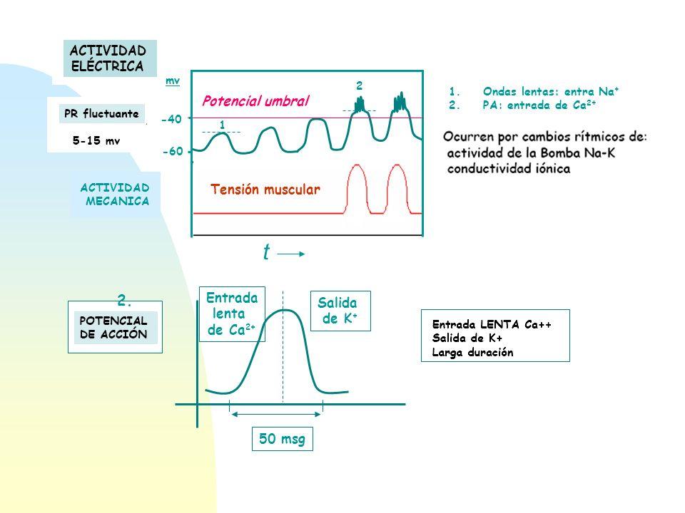 Potencial umbral -60 -40 1 2 1.Ondas lentas: entra Na + 2.PA: entrada de Ca 2+ mv ACTIVIDAD MECANICA Tensión muscular t Entrada lenta de Ca 2+ Salida