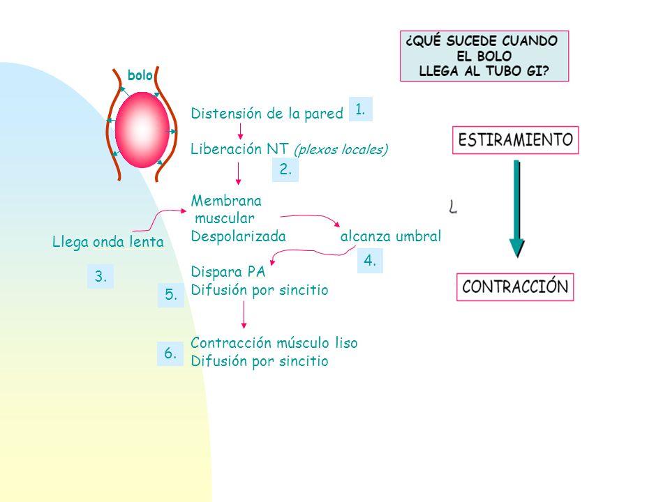 bolo Distensión de la pared Liberación NT (plexos locales) Membrana muscular Despolarizada alcanza umbral Dispara PA Difusión por sincitio Contracción