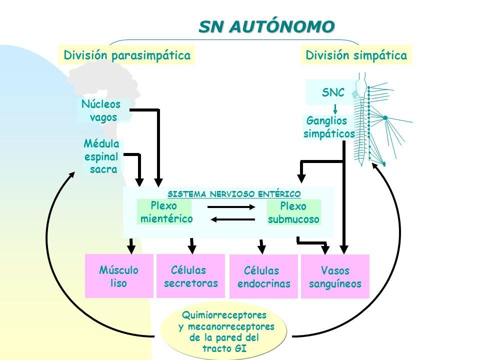 SN AUTÓNOMO División parasimpáticaDivisión simpática Núcleos vagos Médula espinal sacra SNC Ganglios simpáticos Plexo mientérico Plexo submucoso SISTE