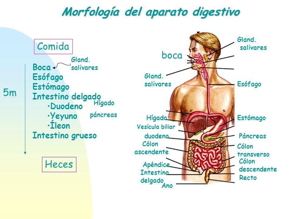 Morfología del aparato digestivo Boca Esófago Estómago Intestino delgado Duodeno Yeyuno Íleon Intestino grueso Comida Heces 5m Gland. salivares Hígado