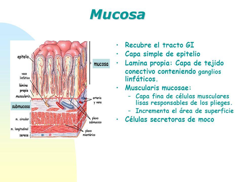 Recubre el tracto GI Capa simple de epitelio Lamina propia: Capa de tejido conectivo conteniendo ganglios linfáticos. Muscularis mucosae: –Capa fina d