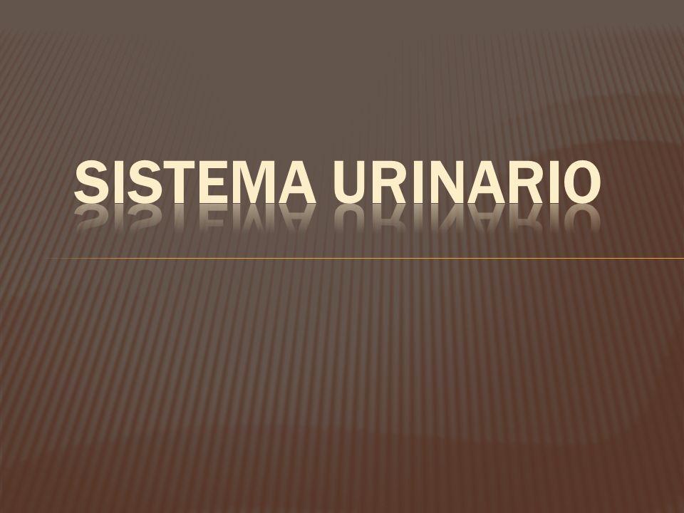 HISTOLOGÍA DE VEJIGA URINARIA.