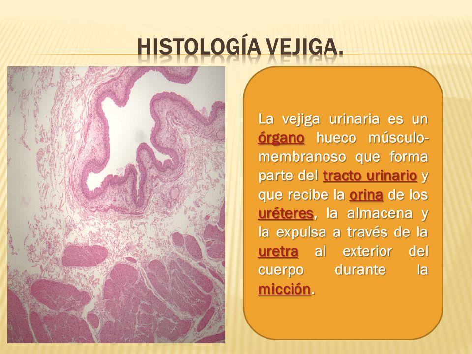 La vejiga urinaria es un órgano hueco músculo- membranoso que forma parte del tracto urinario y que recibe la orina de los uréteres, la almacena y la